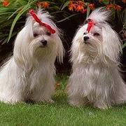 Maltese Breed Information