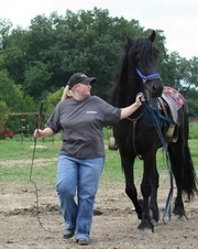 2friesian mares and a gelding for adoption