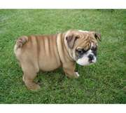 english bull dog puppy fort caring and lovely home