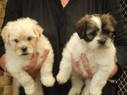 LHASA APSO PURE BRED PUPS