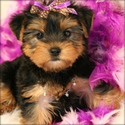 Adorable teacup yorkie puppies now available