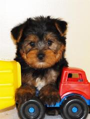 cute Male And Female Teacup Yorkie Ready For A New Home