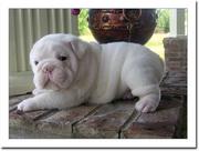 Charming Bulldog Puppies Available