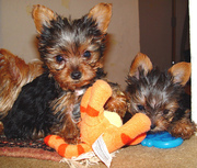 Absolutely Gorgeous Teacup Yorkies Puppies Available
