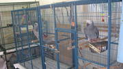DNA PROVEN MALE AND FEMALE CONGO GREY PARROTS WITH LARGE CAGE